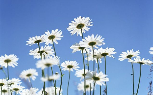 1440x900_Blue_Sky_Flowers_HM049_350A[1]